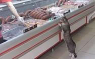 Γάτα μπήκε σε κρεοπωλείο και στάθηκε όρθια μπροστά στη βιτρίνα (video)