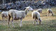 Κρήτη: Σκύλος έπνιξε 17 πρόβατα