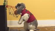 Κουνέλι έχει κατακτήσει το ίντερνετ με τις μπασκετικές του ικανότητες (video)