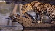 Δείτε πως οι λεοπαρδάλεις μαθαίνουν να πιάνουν ψάρια (video)