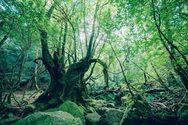 Tο αρχαίο δάσος της«ΠριγκίπισσαςMononoke» θα μπορούσε να είναι σκηνικό παραμυθιού (φωτο)