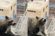 Ρακούν σκαρφάλωσε στην κορυφή ουρανοξύστη 23 ορόφων (video)