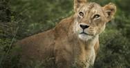 Βέλγιο: Σκότωσαν λέαινα που διέφυγε από ζωολογικό κήπο