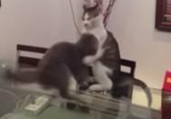 Γάτες προκαλούν δείχνοντας χαρακτήρα (video)