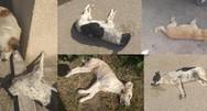 Νέο περιστατικό με φόλες στην Ηλεία - Θανάτωσαν πέντε σκυλιά και μια γάτα
