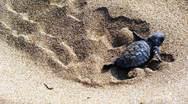 Όταν τα πρώτα χελωνάκια του Κυπαρισσιακού κόλπου δεν βρήκαν τη θάλασσα!