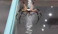 Το ανατριχιαστικό ζευγάρωμα μιας αράχνης (video)