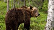 Αρκούδα εντοπίστηκε νεκρή στο Βροντερό Φλώρινας
