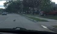 Καυγάς μεταξύ κουνελιού - αρουραίου στο δρόμο (video)