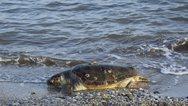 Δυτική Αχαΐα - Λουόμενοι κάνουν μπάνιο μαζί με ένα κουφάρι θαλάσσιας χελώνας