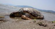 Αχαΐα: Bρέθηκε νεκρή χελώνα στην παραλία του Αλισσού