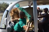 Λιοντάρι μπαίνει σε όχημα... γεμάτο τουρίστες (video)