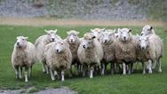 Αχαΐα: Αφαίρεσαν από στάβλο 33 πρόβατα