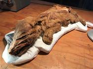 Βρέθηκε μουμιοποιημένος λύκος ηλικίας 50.000 ετών (video)