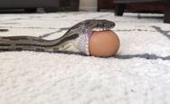 Φίδι καταπίνει ολόκληρο αυγό κότας (video)
