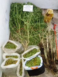 Συνελήφθη 50χρονος καλλιεργητής ναρκωτικών στη Γαστούνη