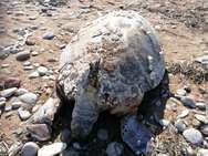 Νεκρή θαλάσσια χελώνα στην παραλία της Κάτω Αχαΐας (pics)