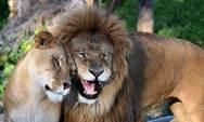 ΗΠΑ - Μια λιονταρίνα σκότωσε τον πατέρα των τριών μικρών της