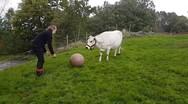 Η αγελάδα που παίζει σαν σκύλος (video)