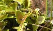 Σφήκες αιχμαλωτίζονται σε σαρκοφάγο φυτό (video)