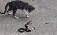 Γάτα τα... βάζει με φίδι (video)
