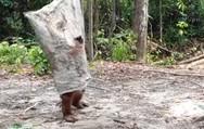 Ουρακοτάγκος ντύθηκε φάντασμα (video)