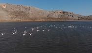 Τα φλαμίνγκο χορεύουν στα νερά της λιμνοθάλασσας Κοτυχίου, στη Στροφυλιά (video)