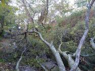 Ορεινή Αχαΐα - Πτώση δέντρου στο Αλεποχώρι