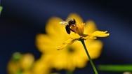 Μέλισσα - Ένα «πολιτικό ζώο»