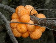 Τα παράξενα «πορτοκάλια» του Δαρβίνου