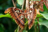 Η πεταλούδα Atlas είναι η μεγαλύτερη στον κόσμο