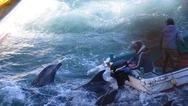 Ιαπωνία: Προσφυγή στη δικαιοσύνη κατά του κυνηγιού δελφινιών στο Ταϊτζί