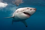 Επιστήμονες «διάβασαν» για πρώτη φορά το DNA τουμεγάλου λευκού καρχαρία