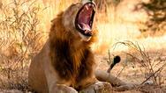 ΗΠΑ: Λιοντάρι κατασπάραξε φύλακα σε ζωολογικό κήπο