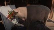 Pigcasso: Το γουρούνι που... ζωγραφίζει (video)