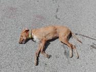 Αιτωλοακαρνανία - Άγνωστος έδωσε σε σκύλο δηλητηριασμένη τροφή