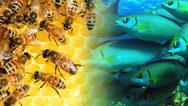 Μέλισσες και ψάρια «επικοινώνησαν» για πρώτη φορά