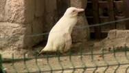 Πρώτη δημόσια εμφάνιση για αλμπίνο πιγκουίνο (video)
