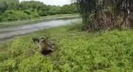 Κροκόδειλος... κυνήγησε άνδρα, για να του κλέψει το ψάρι (video)