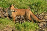 Αιτωλοακαρνανία: Ρίψεις εμβολίων δολωμάτων κατά της λύσσας για τις κόκκινες αλεπούδες