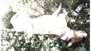 Καταγγελία σοκ - Άνδρας σκότωσε πιτ μπουλ μαχαιρώνοντας το 17 φορές