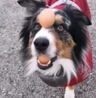 Ένας σκύλος με ταλέντο στα ζογκλερικά (video)