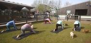 Κάνοντας pilates ανάμεσα σε γουρούνια στην Αγγλία (video)