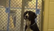 Η αντίδραση ενός σκύλου, όταν συνειδητοποιεί ότι τον υιοθετούν (video)