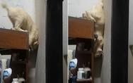Γάτα έχει βρει τον τρόπο να κατεβαίνει από ψηλό ράφι (video)