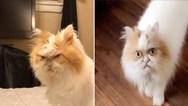 Βρέθηκε ο διάδοχος της 'γκρινιάρας γάτας' (φωτο+video)
