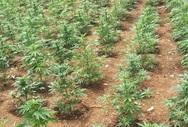 Αδέλφια καλλιεργούσαν χασισόδεντρα στα Χανιά