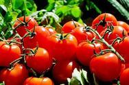 Επέλαση πεταλούδων καταστρέφει τις καλλιέργειες ντομάτας στην Κρήτη