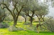 Ηλεία - Άγνωστοι έκοψαν με τσεκούρι 140 ελαιόδεντρα