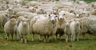 Κρήτη: Άγνωστος 'φυλάκιζε' πρόβατα και τα άφηνε να πεθάνουν